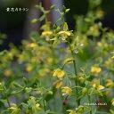 [山野草] 黄花カキラン