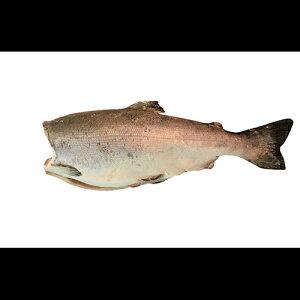 プレミアム銀鮭ドレス一尾(約3k)鮭 サケ さけ サーモン 天然 銀サケ 銀さけ ギフト プレゼント 贈答 お祝い