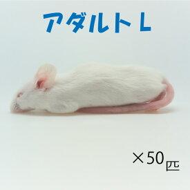 冷凍アダルトLマウス (50匹)約8.0cm/匹 冷凍マウス アダルト マウス ホワイトマウス 冷凍餌 エサ 猛禽類 爬虫類 両生類 大型魚の肉食ペット用 クール便発送