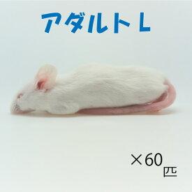 冷凍アダルトLマウス (60匹)約8.0cm/匹 冷凍マウス アダルト マウス ホワイトマウス 冷凍餌 エサ 猛禽類 爬虫類 両生類 大型魚の肉食ペット用 クール便発送